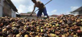 Peneliti Indonesia Temukan Kulit Kopi Bisa Jadi Pengganti Gas Elpiji