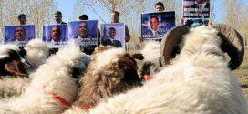 Domba Ternyata Pintar, Bisa Kenali Wajah Manusia