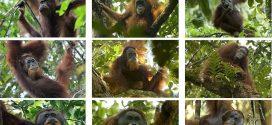 Berlomba Menyelamatkan Kerabat Baru Orangutan