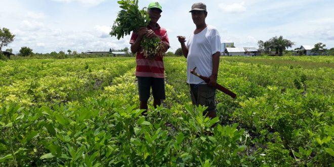 Balitbang Kota Palangka Raya Mulai Lirik Budidaya Tanaman Kacang Tanah di Kereng Bangkirai