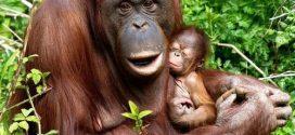 Riset: Hampir 150 Ribu Orangutan Kalimantan Hilang